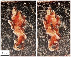 ラット腎臓由来の培養細胞の染色体 立体構築像